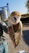 Yaralı halde bulunan peçeli baykuş tedavi altına alındı