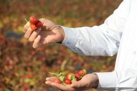 Hüyük, İç Anadolu'da organik çilek üretiminin üssü oldu