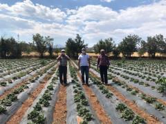 Konya'da Aralık ayında çilek hasadı