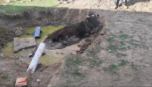 Foseptik çukuruna düşen ineği itfaiye kurtardı