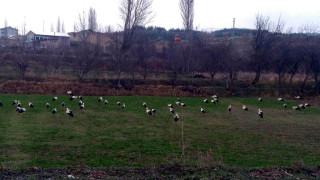 Göç yolundaki leyleklerin Konya'daki molaları sürüyor